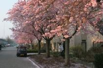 Ochtendzon op de fraaie wit-roze bloesem; Heliosstraat gezien vanaf de Deventerstraat. gm[[52.21306987423032, 5.98879873752594]]