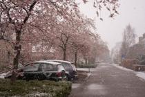De wit-roze bloesem aan de Hermesstraat een maand te vroeg en vanochtend sneeuw.  gm[[52.21240919786296, 5.988487601280212]]