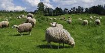 Schapen nemen het werk van lawaaiige grasmaaiers over in park Woudhuis. gm[[52.217566156857785, 6.018560528755188]]